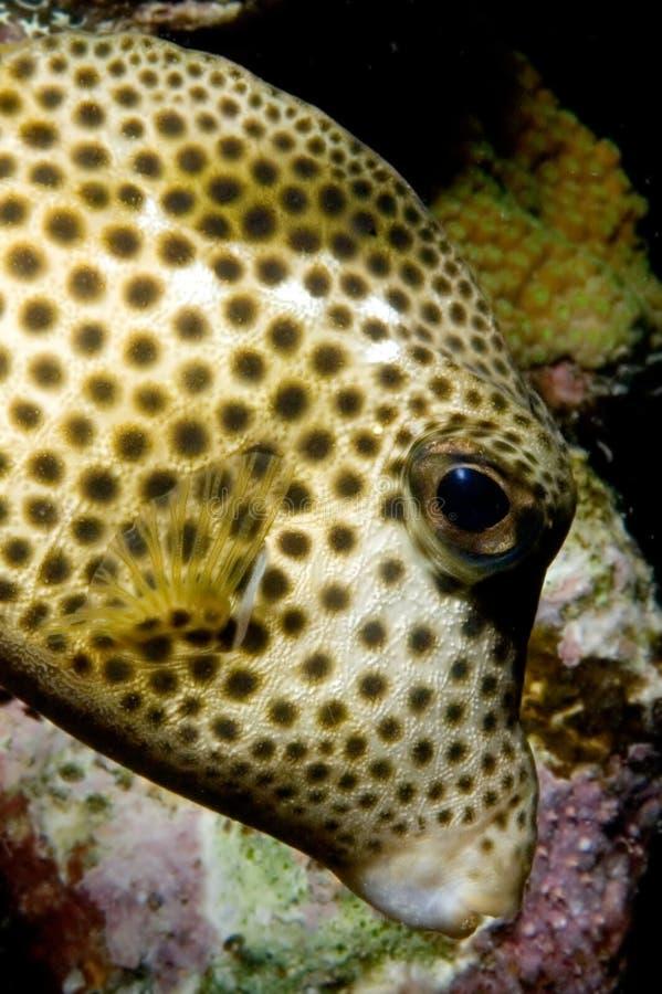 pufferfish karaibów zdjęcie stock