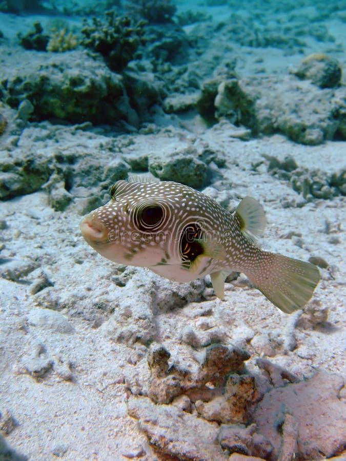 Pufferfish manchado branco fotografia de stock