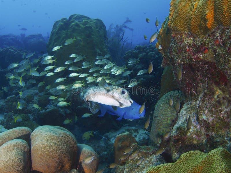 Pufferfish och blåttparrotfishen med skolgångsmallmouthgrymtning på en typiska Bonaire revar, nederländska Antillerna royaltyfri foto