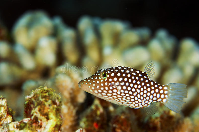 Pufferfish repéré blanc images stock