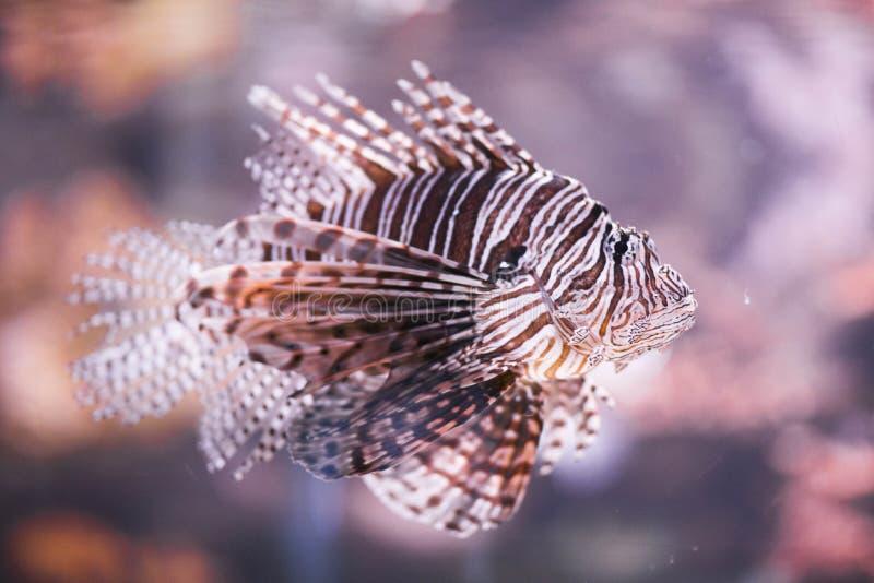 Pufferfish stänger sig upp simning i akvarium arkivfoto