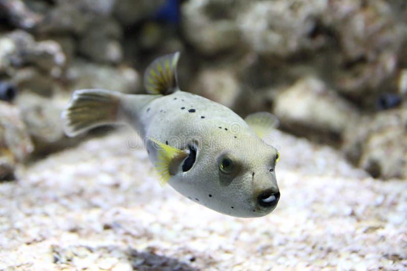 Pufferfishschwimmen in einem Aquarium lizenzfreie stockfotos