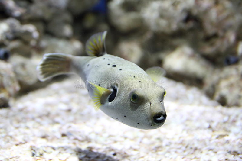 Pufferfishsimning i ett akvarium royaltyfria foton
