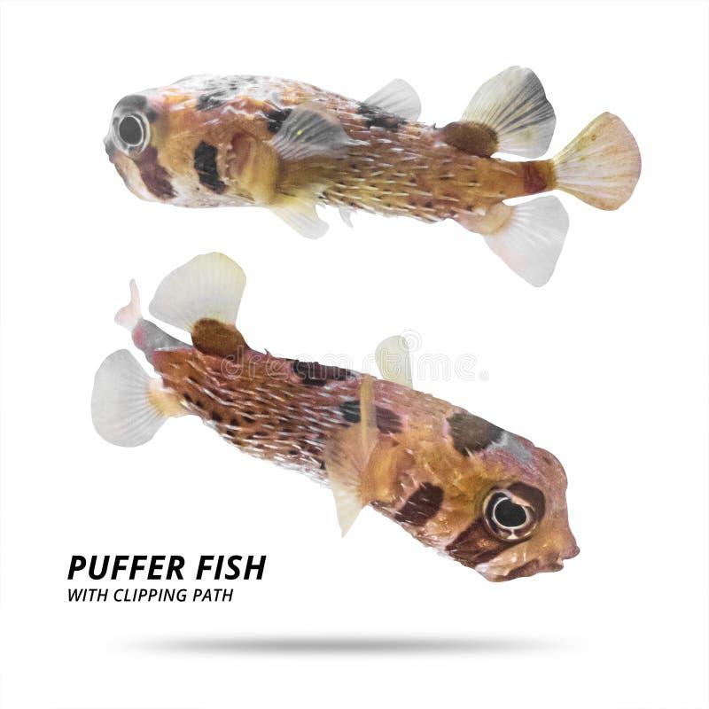 Pufferfisk som isoleras på vit bakgrund Ballongfiskar med snittet Snabb bana arkivfoto
