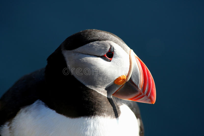 Download Puffin stock photo. Image of island, pelagic, colorful - 13304210