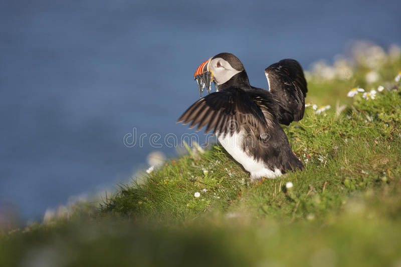 Puffin. A Puffin just landed on a cliff top with Sand eels,flaping its wings on Skomer royalty free stock photos