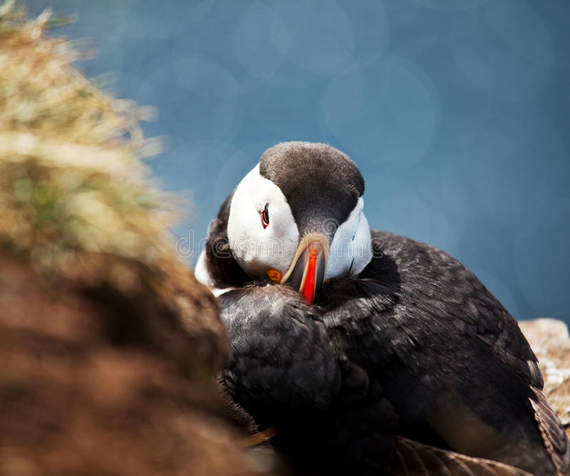 Download Puffin stock image. Image of nature, great, green, animal - 21031917