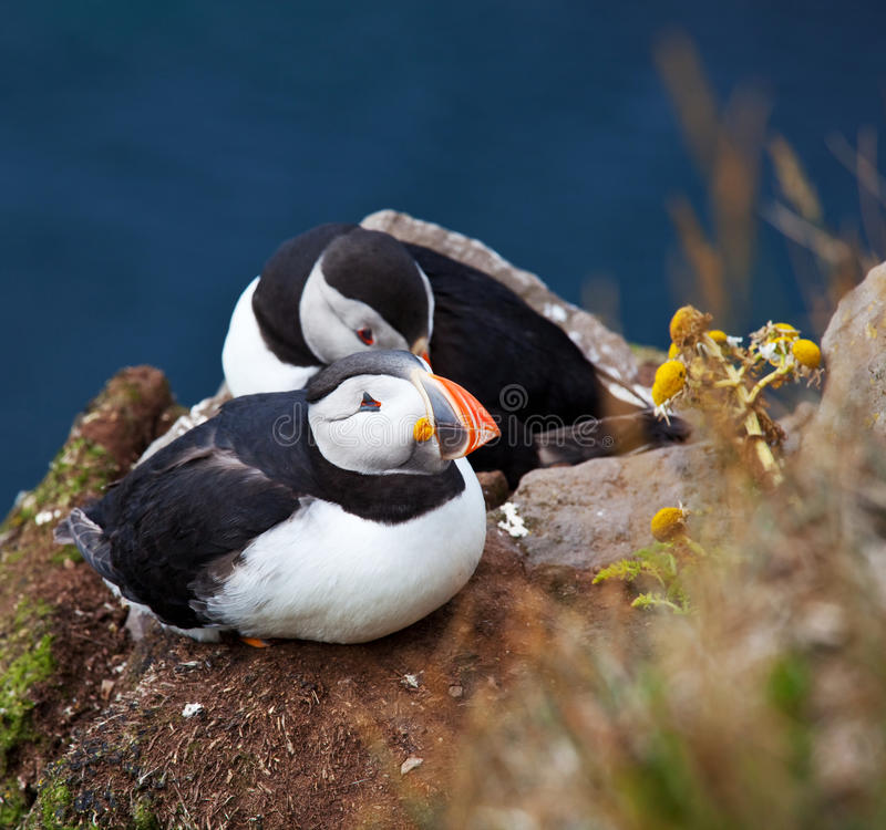 Download Puffin stock image. Image of skellig, little, life, northern - 21127959