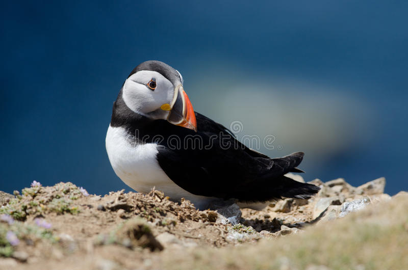 Download Puffin Royalty Free Stock Photography - Image: 24788687