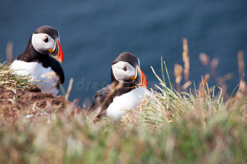 Download Puffin stock image. Image of life, great, green, seabird - 25165615