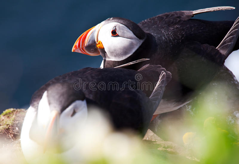 Download Puffin stock photo. Image of curious, colored, seabird - 25186904