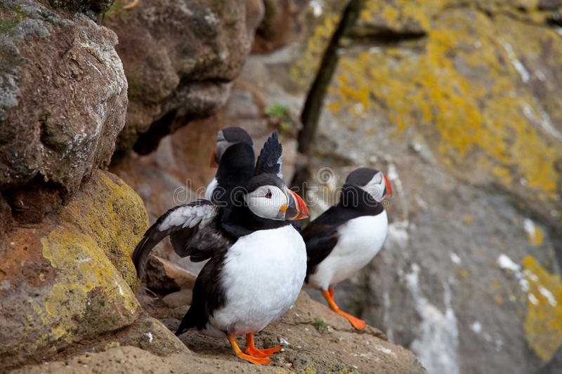 Download Puffin stock image. Image of skellig, rock, puffin, little - 27054545