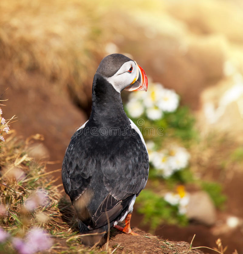 Download Puffin stock image. Image of spread, curious, little - 28854605