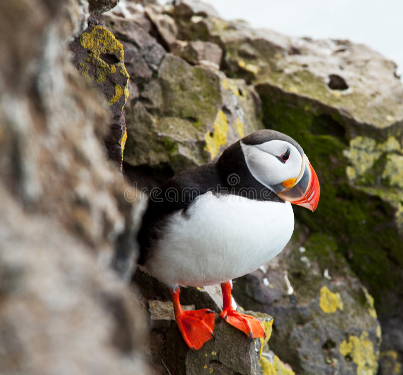 puffin stock foto's