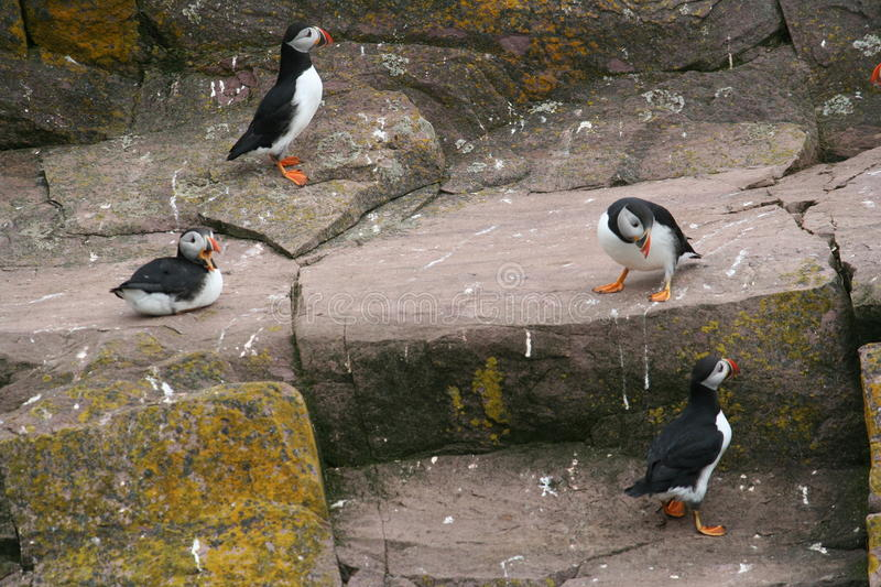 puffin photographie stock
