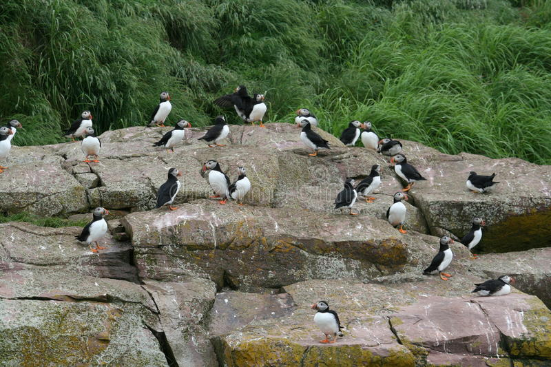 puffin photos stock