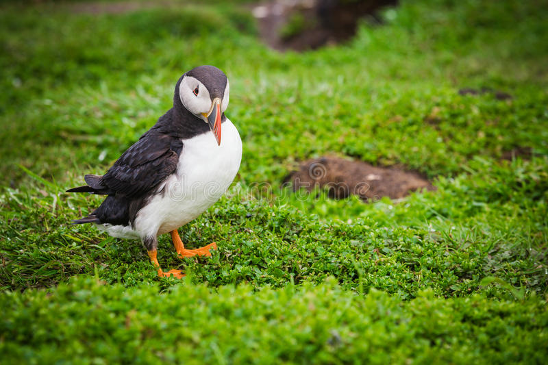puffin photo stock