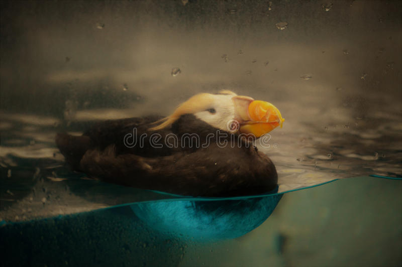 puffin fotos de stock royalty free
