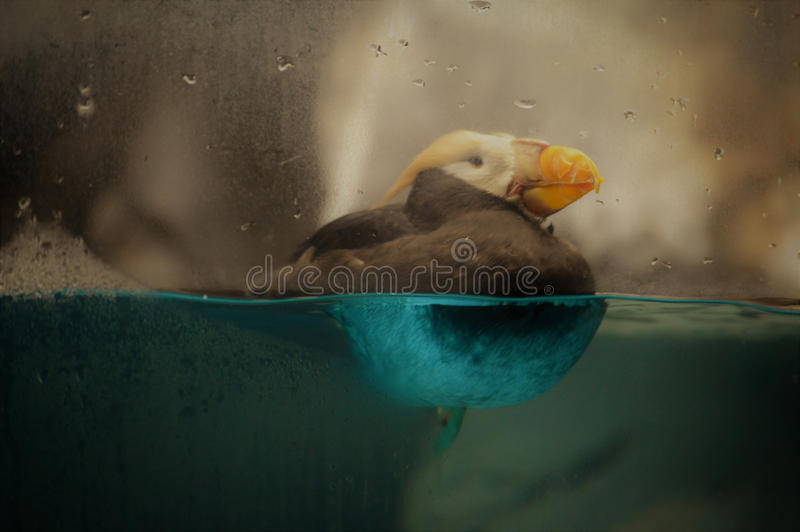 puffin imagem de stock royalty free