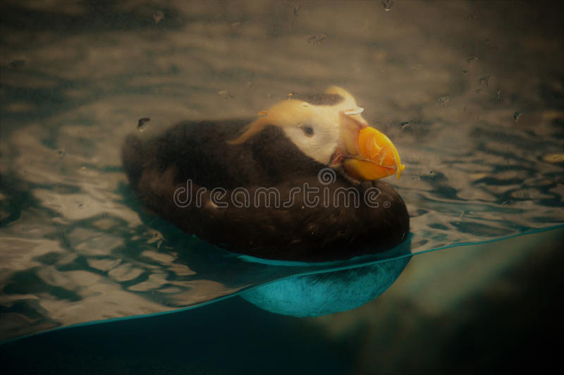 puffin fotografia de stock royalty free