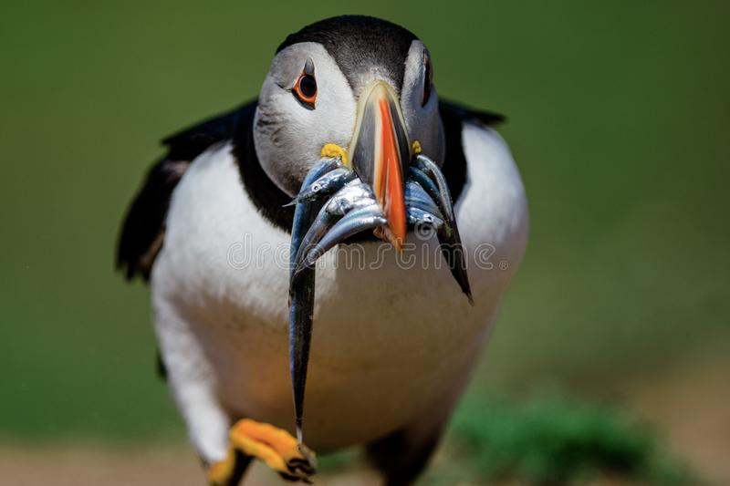 Puffin with a beak full of sand eels. A Puffin walking on a cliff top with a beak full of sand eels on a green background stock photo