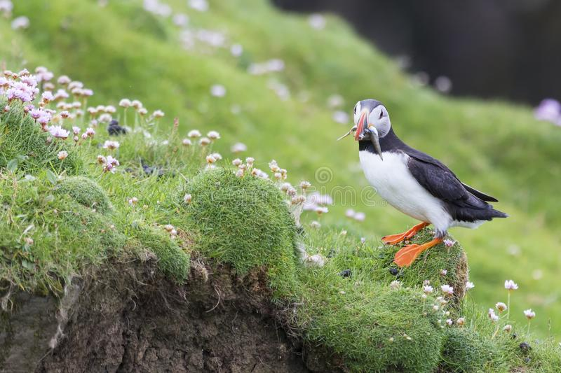 Puffin bringing fish to a nest on Shetland Island for its chicks. Puffin bringing fish caught to a nest on Shetland Island for its chicks stock photos