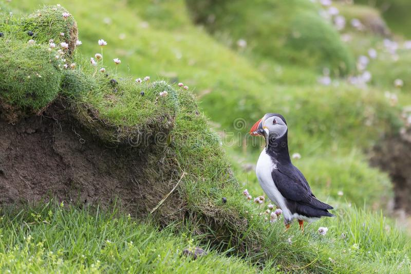 Puffin bringing fish to a nest on Shetland Island for its chicks. Puffin bringing fish caught to a nest on Shetland Island for its chicks royalty free stock image