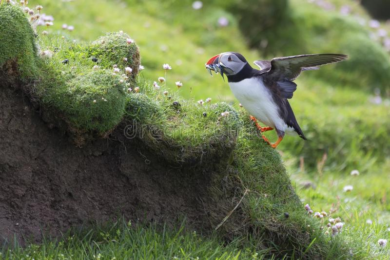 Puffin bringing fish to a nest on Shetland Island for its chicks. Puffin bringing fish caught to a nest on Shetland Island for its chicks royalty free stock photos