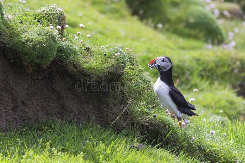 Puffin bringing fish to a nest on Shetland Island for its chicks. Puffin bringing fish caught to a nest on Shetland Island for its chicks royalty free stock photo