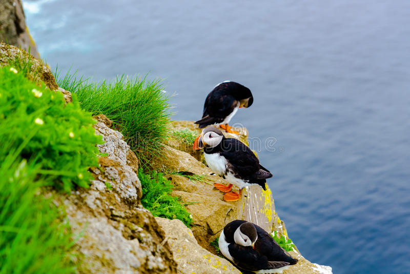 Puffin at the cliff of Latrabjarg royalty free stock photos