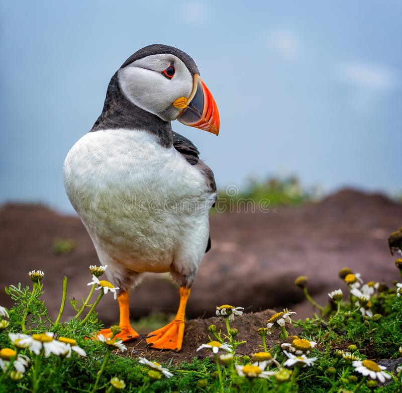 Puffin in close up stock photography