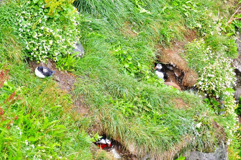 Puffin colony on a grassy cliff near Husavik. Iceland stock images