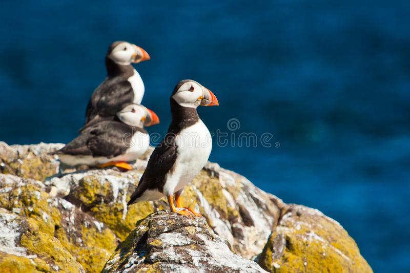 Puffin colony at the Isle of may in Scottland, UK. Cute birds as magnet for world wide birdwatchers, bird viewing in United kingdom, marine wildlife, boat trip stock photos