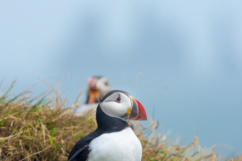 Puffin in Dyrholaey - Iceland royalty free stock photos