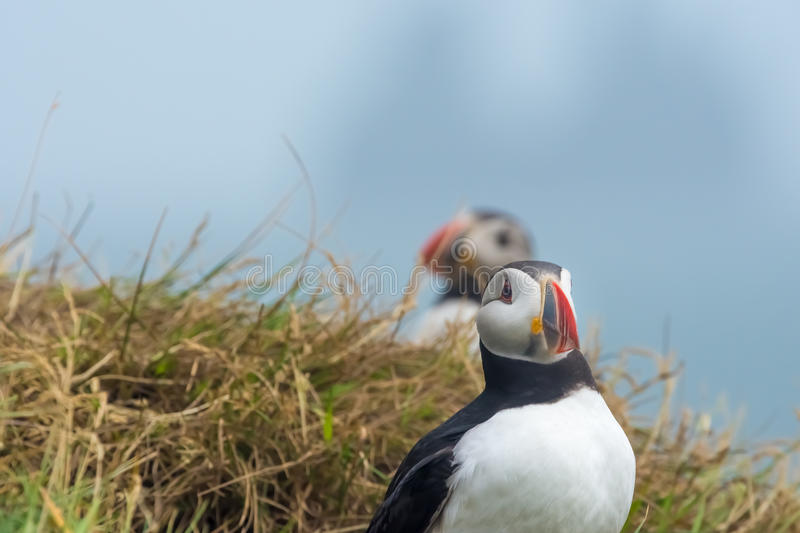 Puffin in Dyrholaey - Iceland royalty free stock photo
