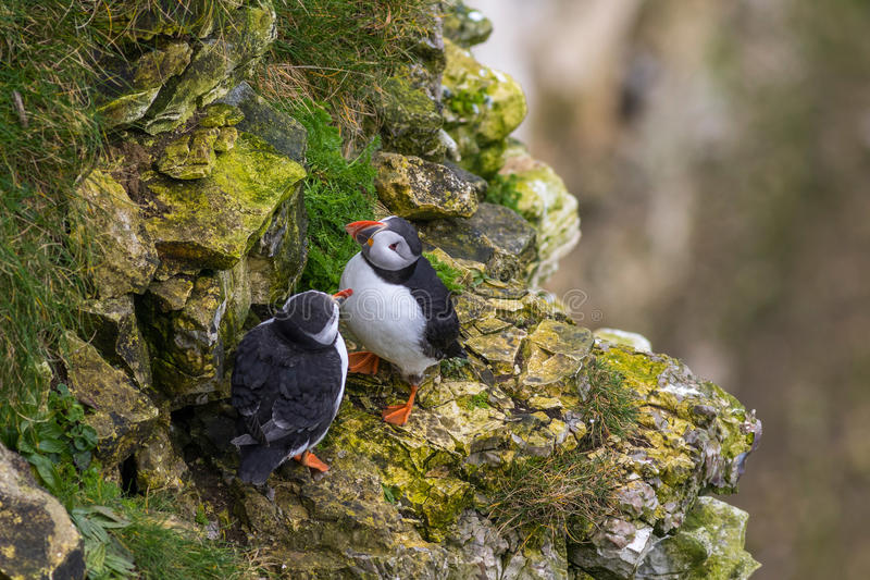 Puffin. On the edge on the Yorkshire coast royalty free stock photos