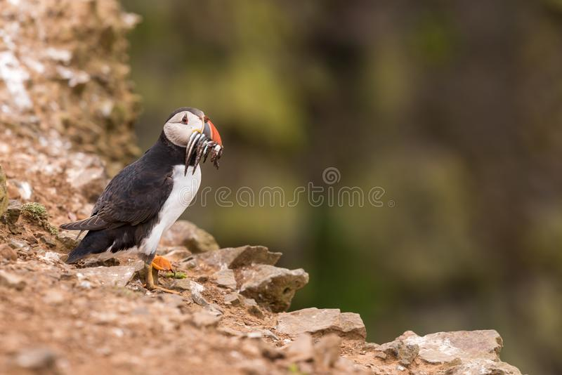 A puffin with fish in its mouth. An Atlantic puffin with fish in its mouth on the cliffs of Skomer island in Wales.UK stock photos
