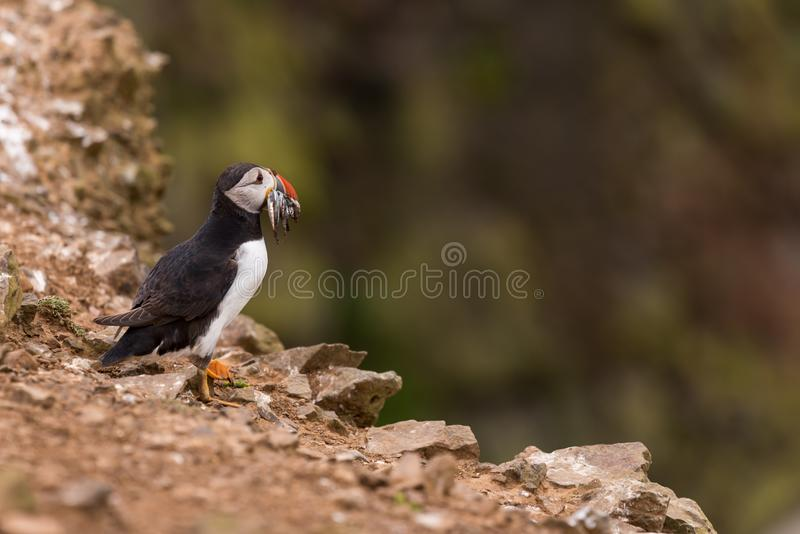 A puffin with fish in its mouth. An Atlantic puffin with fish in its mouth on the cliffs of Skomer island in Wales.UK stock photo