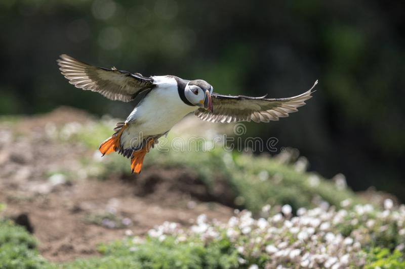 Puffin, in flight against a dark cliff side. A Puffin in flight with a black background stock image
