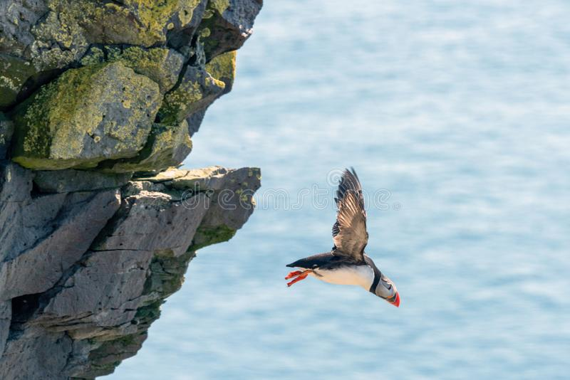 A puffin in flight from latrabjarg bird cliffs in the western part of iceland. stock photos