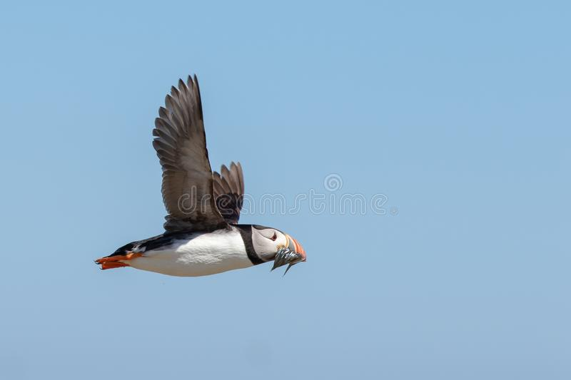 Puffin flying by with a mouthful of fish. An atlantic puffin flying by with a mouth full of sand eels royalty free stock image
