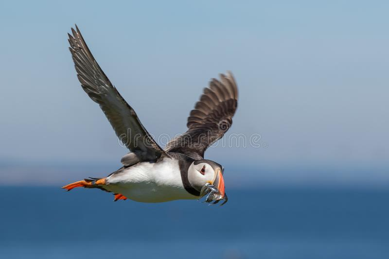 Puffin flying by with a mouthful of fish. A ringed atlantic puffin flying by with a mouth full of sand eels stock photography