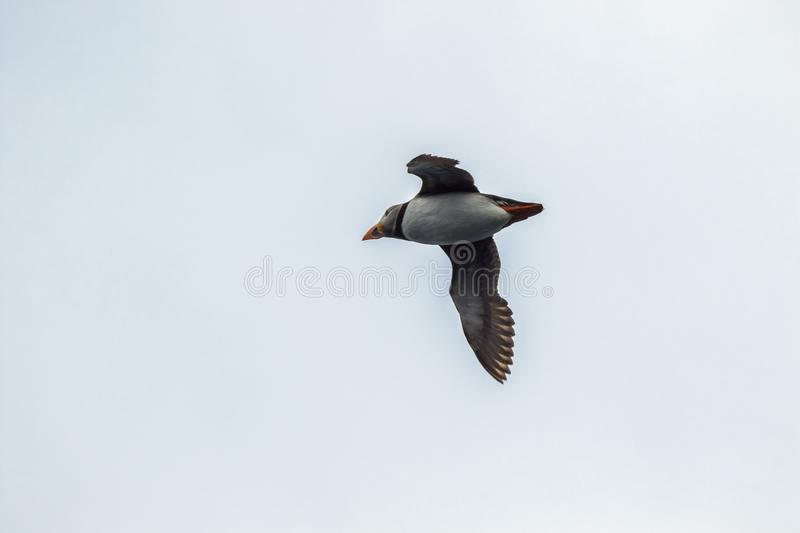 Puffin flying overhead royalty free stock images