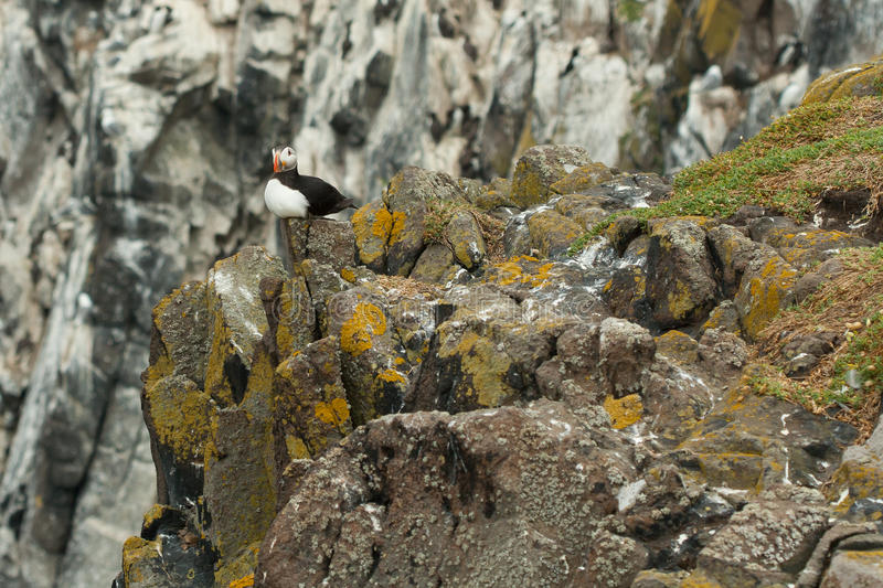 Puffin (Fratercula arctica). Laying on a rock stock photography