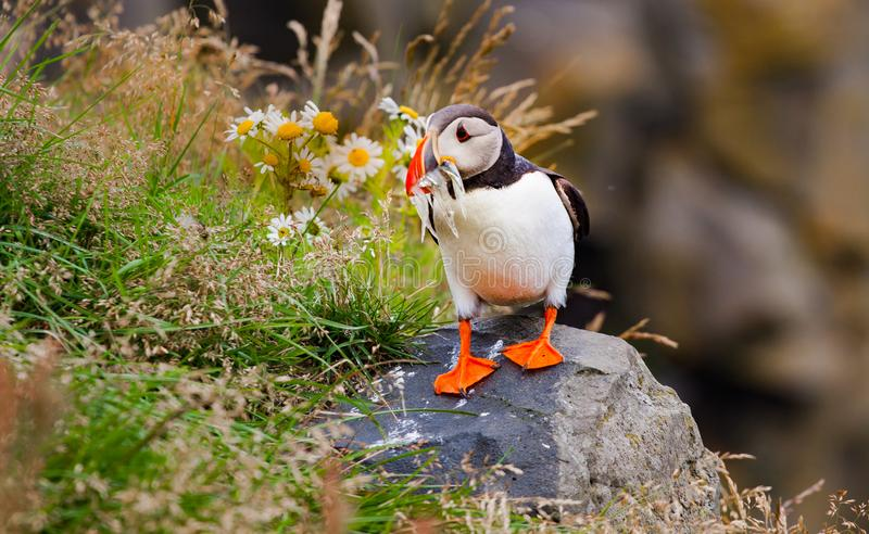 Puffin Fratercula eating small fish. Photo of Islandic bird Puffin eating small fish just in fron to of camera stock image