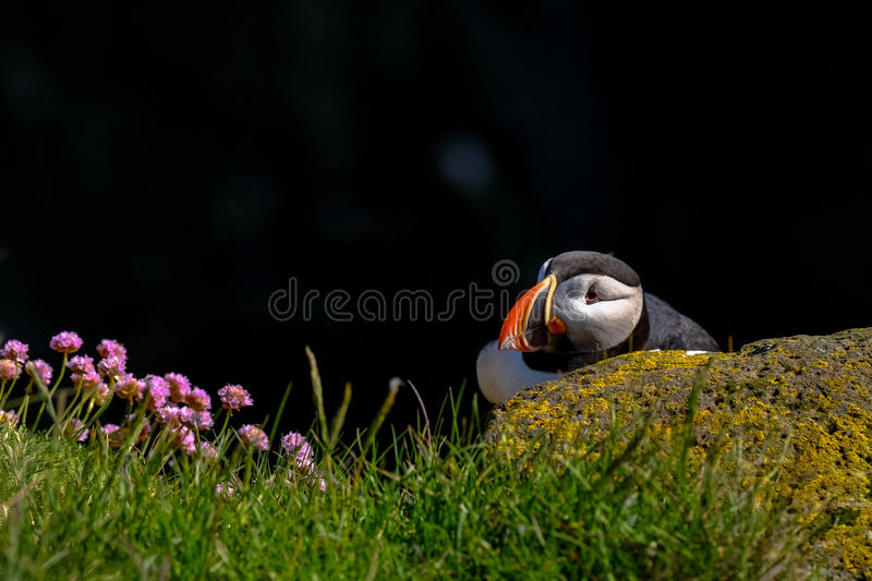 Puffin in grasses with wildflowers stock photo