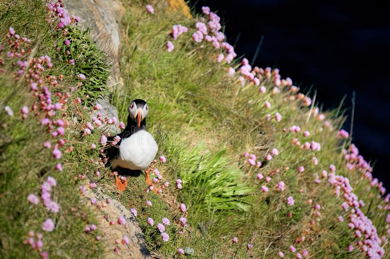 Puffin on a grassy cliff ledge. With pink sea thrift high above the ocean royalty free stock photos