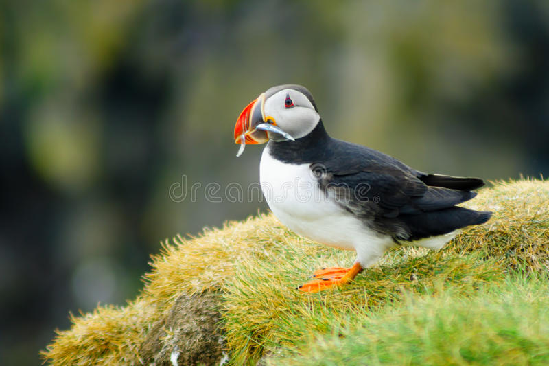 Puffin holding fish in his mouth. A puffin holding fish in his mouth, on a cliff, in southeastern Iceland royalty free stock photography