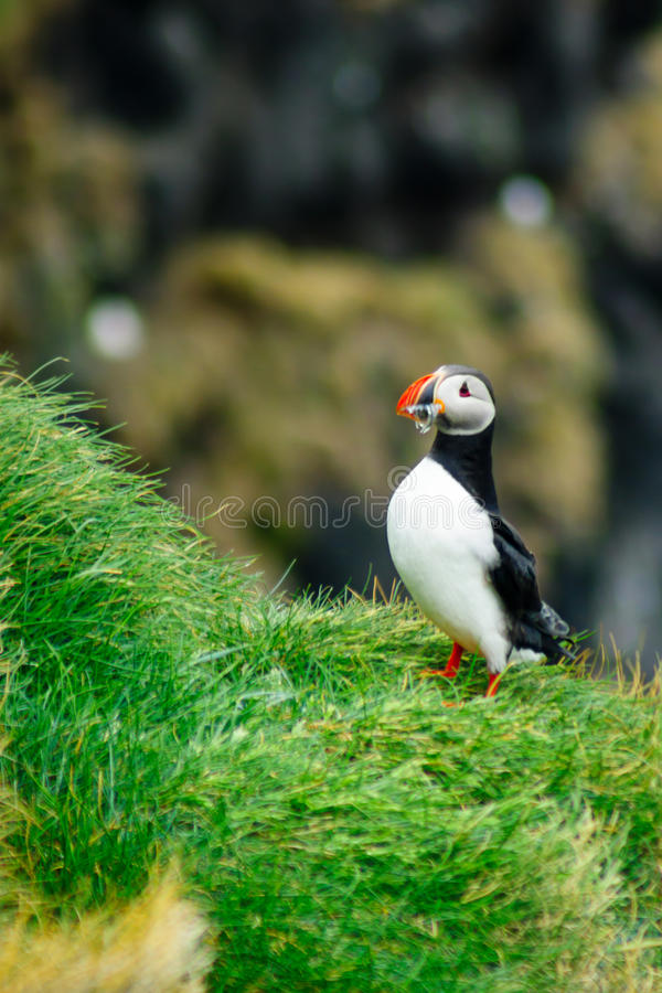 Puffin holding fish in his mouth. A puffin holding fish in his mouth, on a cliff, in southeastern Iceland stock photos