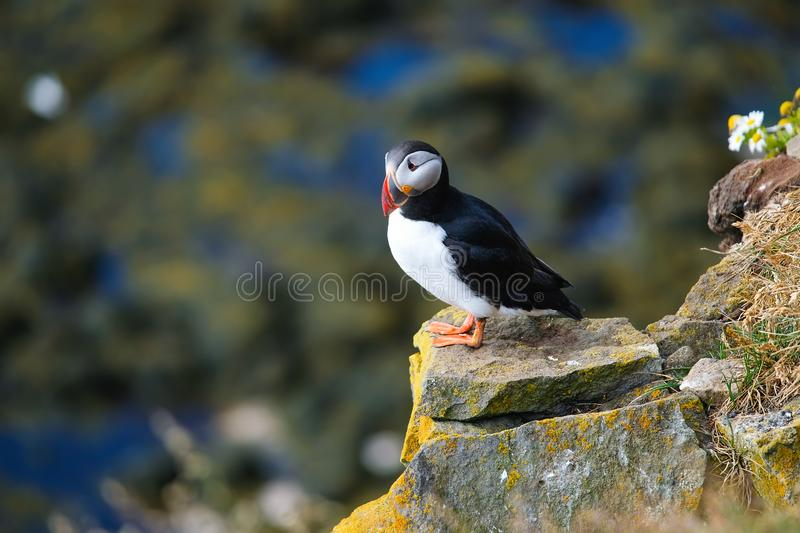 Puffin in Iceland. Seabird on sheer cliffs. Birds on the Westfjord in Iceland. Composition with wild animals. Birds - image royalty free stock photos